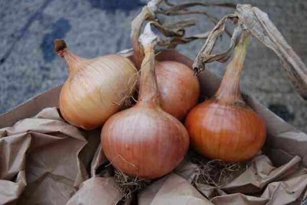 Description of onion sturon variety