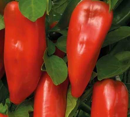Description of pepper Agapovsky