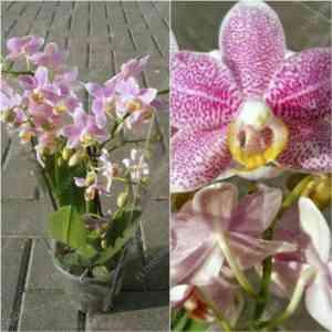 Description of Phalaenopsis Zambia