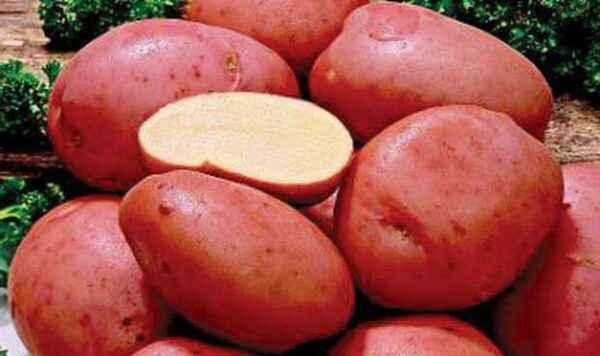 Description of potato Alena