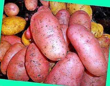 Description of Potato Ryabinushka