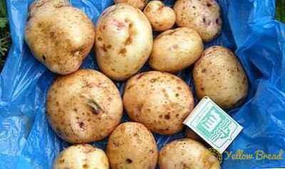 Description of potato Svitanok Kiev
