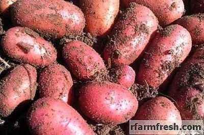 Description of Potatoes Red Lady