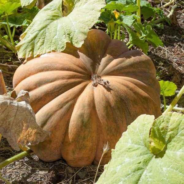 Description of pumpkin Muscat De Provence