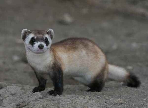 Description of the American Blackfoot ferret