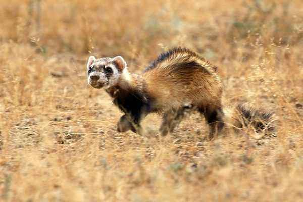Description of the Amur Steppe Ferret