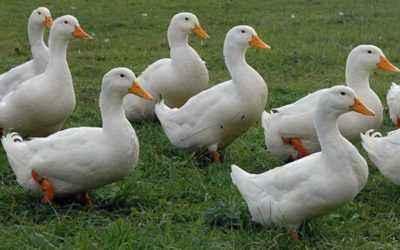 Description of the breed Blagovarskaya duck