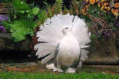 Description of the breed of pigeons Pavlinov