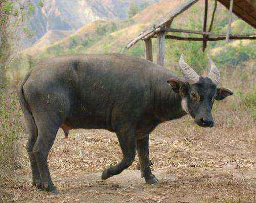 Description of the dwarf buffalo