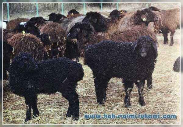 Description of the Edilbayev breed of sheep