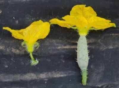 Description of the flowering of female and male type cucumbers