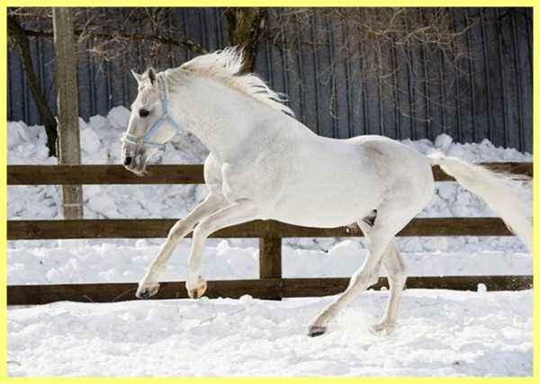 Description of the horses of the breed Rysak