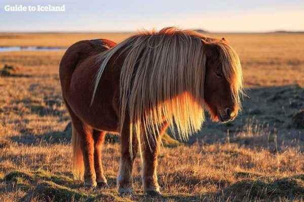 Description of the Icelandic horse