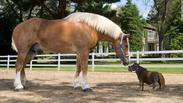 Description of the largest horse in the world