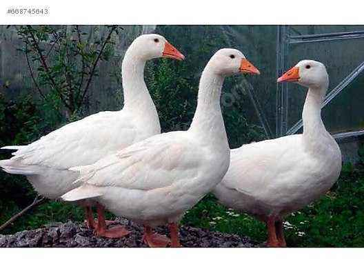 Description of the Mamut geese