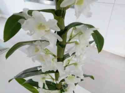 Description of the plant Dendrobium Nobile and care for it