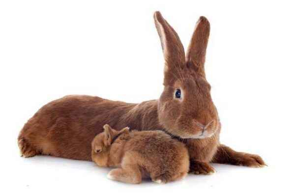 Description of the rabbits of the Burgundy breed