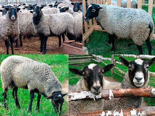 Description of the Romanovskaya breed of sheep