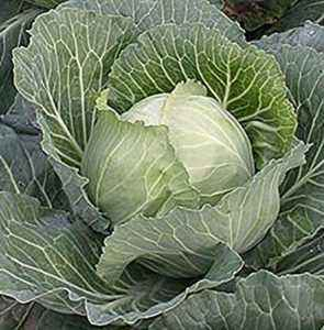 Description of the variety of cabbage Zimovka