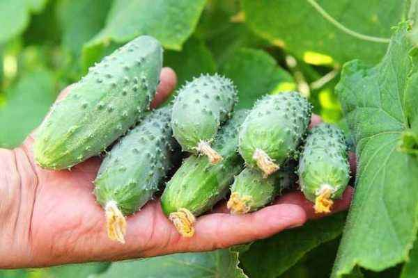 Description of the variety of cucumbers Masha