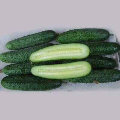 Description of the variety of cucumbers Monisia