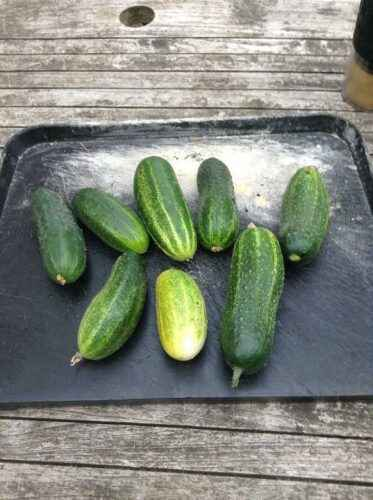 Description of the variety of cucumbers Patti