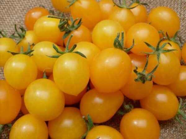 Description of the variety of tomato Cherry Yellow