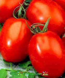 Description of tomato Adeline