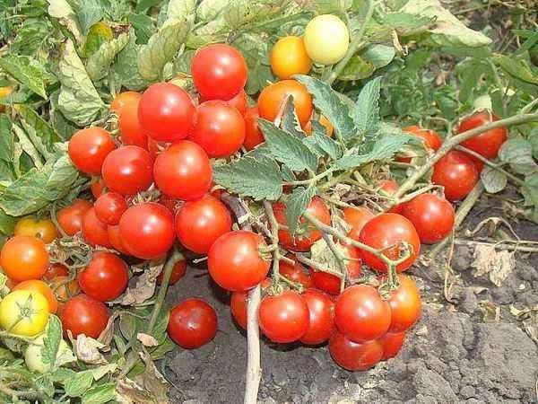 Description of tomato Boni-MM
