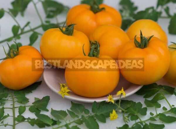 Description of tomato Honey Salute