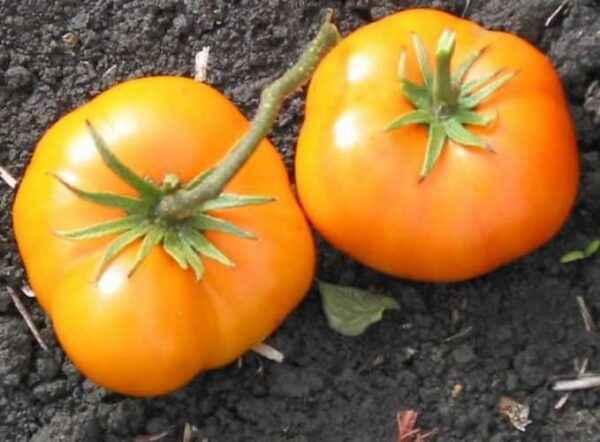 Description of tomato Orange Giant