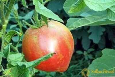 Description of tomato Pink spam