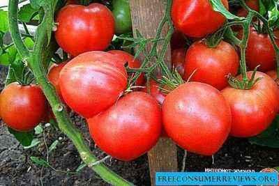 Description of tomato Raspberry Empire