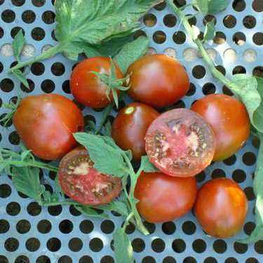 Description of tomato Truffle