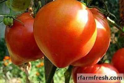 Description of tomato variety Abakan pink