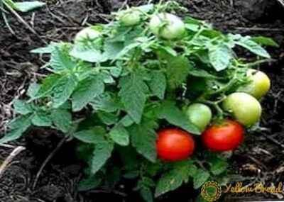 Description of tomato variety Mongolian dwarf