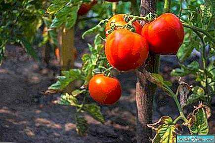 Description of tomatoes of the variety Mishka Kosolapy