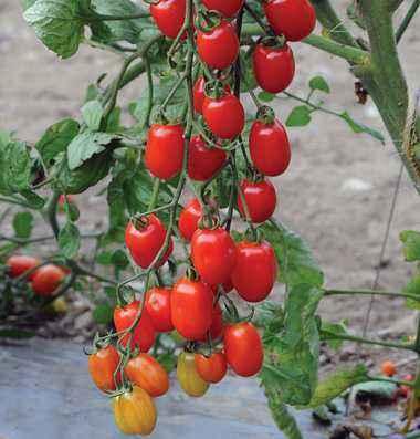 Description of Tomatoes Pearl