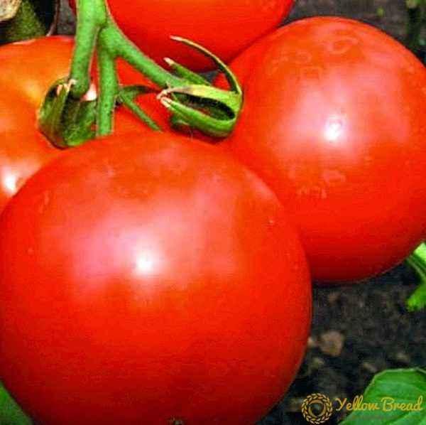 Description of tomatoes Yablonka Russia