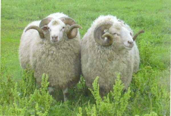 Description of Tsigaysky breed of sheep