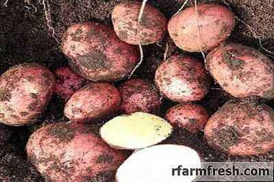 Description of varieties of potatoes for the Black Earth