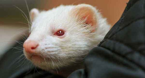 Description of White Ferrets (Albino)