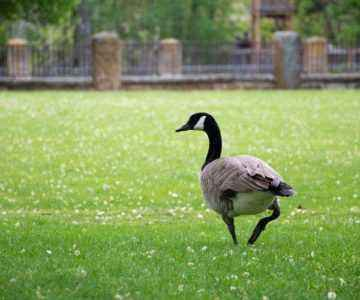 Device for removing geese
