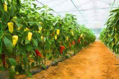 Distance when planting peppers in a greenhouse