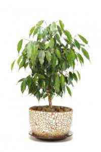 Do I need ficus in the house