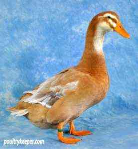 Duck Blue Favorite and its breeding