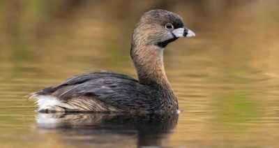 Duck Grebe