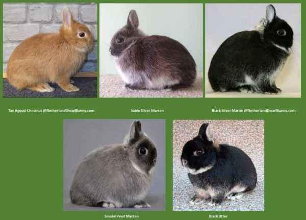 Dwarf rabbit and its varieties