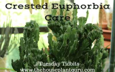 Euphorbia Laktey Kristata - how to care at home