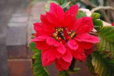 Euphorbia Trihedral - features of growing a subtropical flower